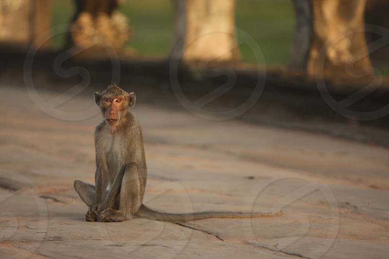 Monkey Soul Cambodia Wildlife Stare Watchful photo