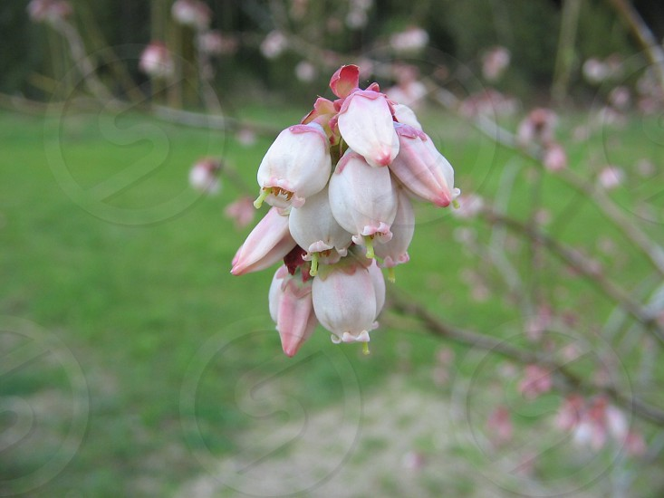 SpringTime Blueberry Blossoms photo