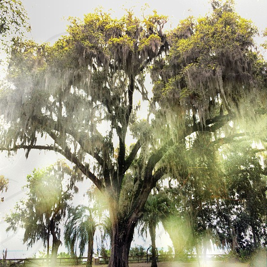 green weeping willow photo