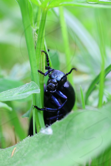 insects Coleoptera photo