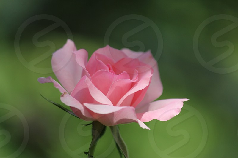 selective focus photo of pink rose photo