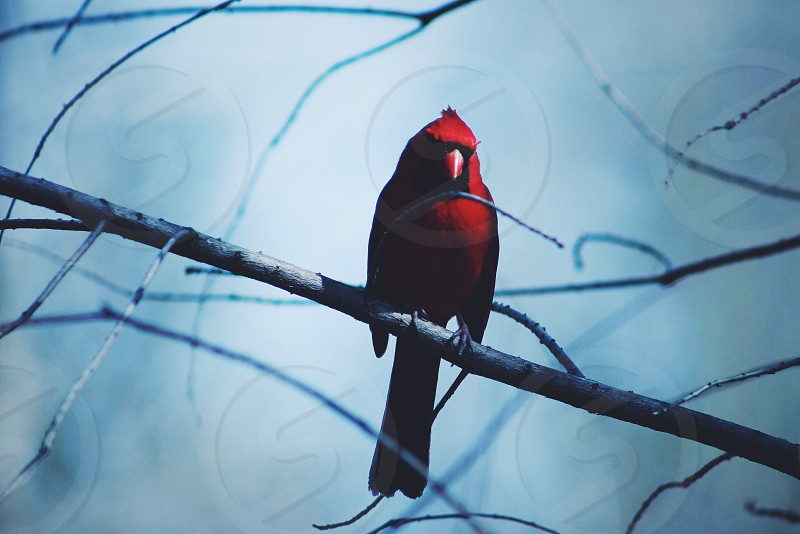red cardinal on tree branch photo