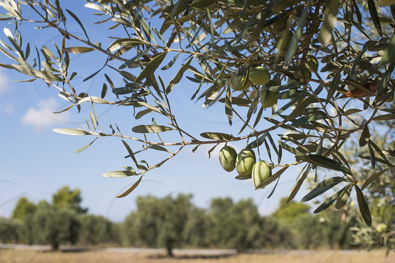 Olive branches on foreground. Olive plantation photo