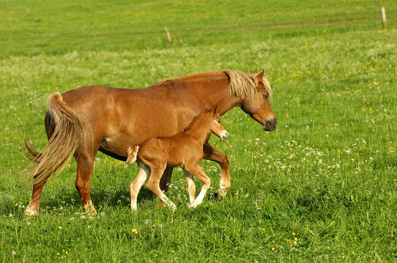 Hanoverian mare and foal in a paddock photo