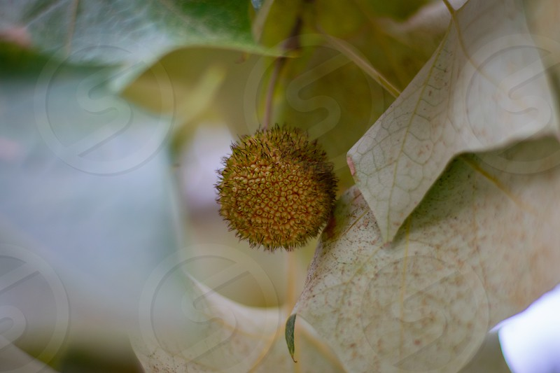 an interesting and intricate seed pod nestled in the leaves of a tree photo