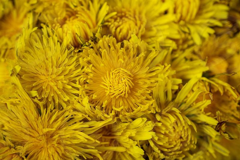spring dandelion yellow flowers photo