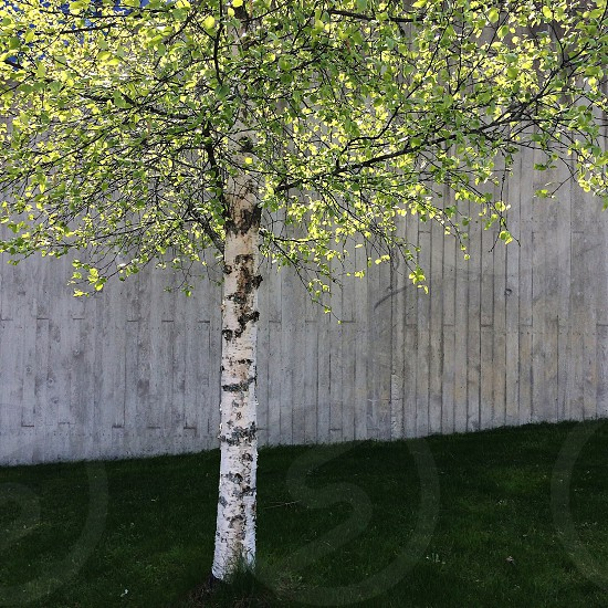 green leaf tree with white trunk photo
