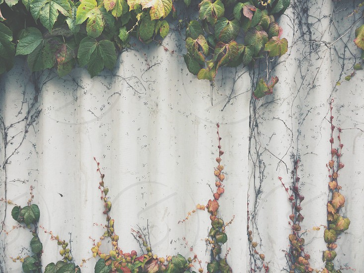 green vine plants in the wall photo
