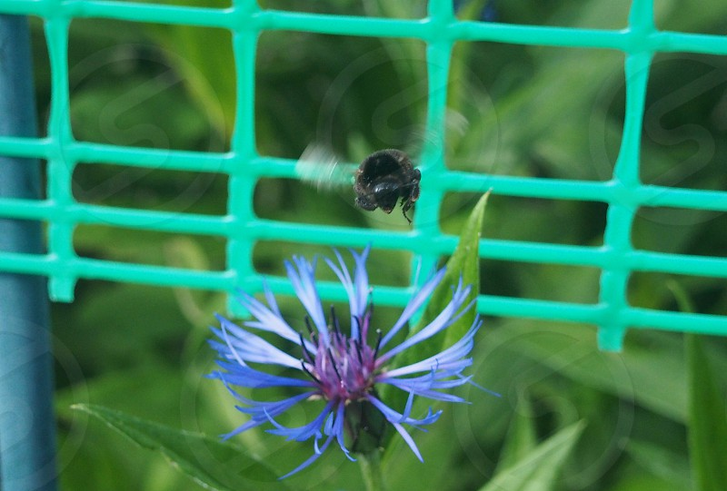 Flight of the Bumblebee on a flower in spring photo