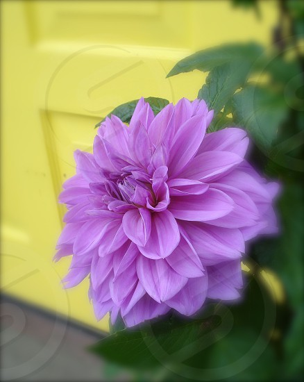 Purple dahlia photo