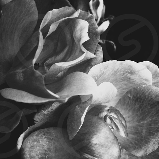 flower gray scale photography photo