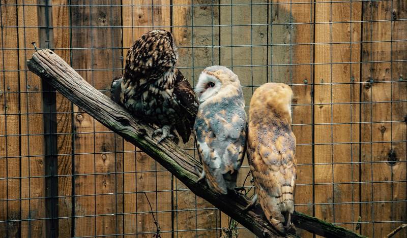 owls on wood photo