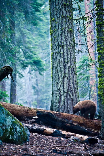brown bear on wood log photo