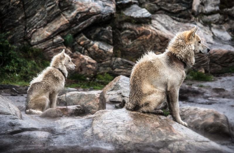 Husky 1 photo