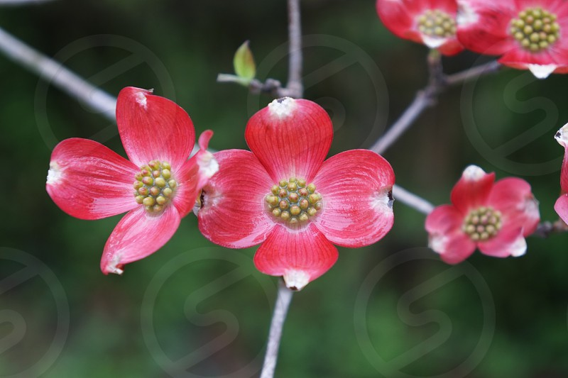 shallow focus photography of red flowers with brown buds photo