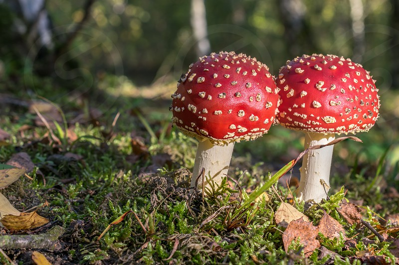 Red toadstools in the woods amanita muscaria fly agaric fly amantia photo