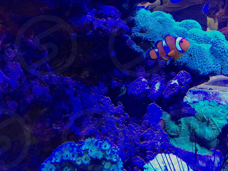 Fish clown in a aquarium. Neon light photo