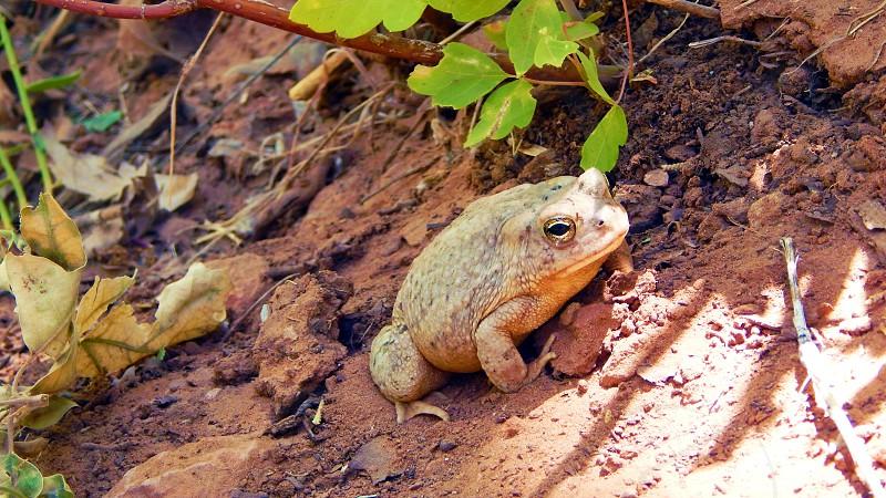 Arizona Toad in Utah photo