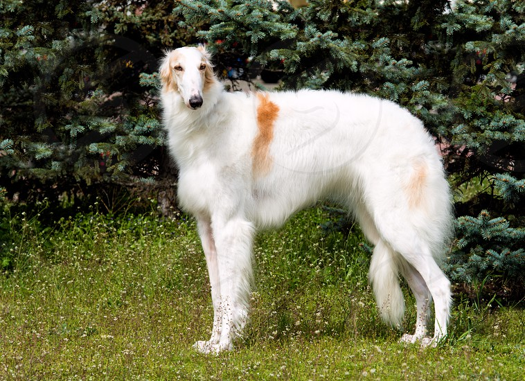 Borzoi Russian white. The Borzoi Russian dog is on the green grass. photo