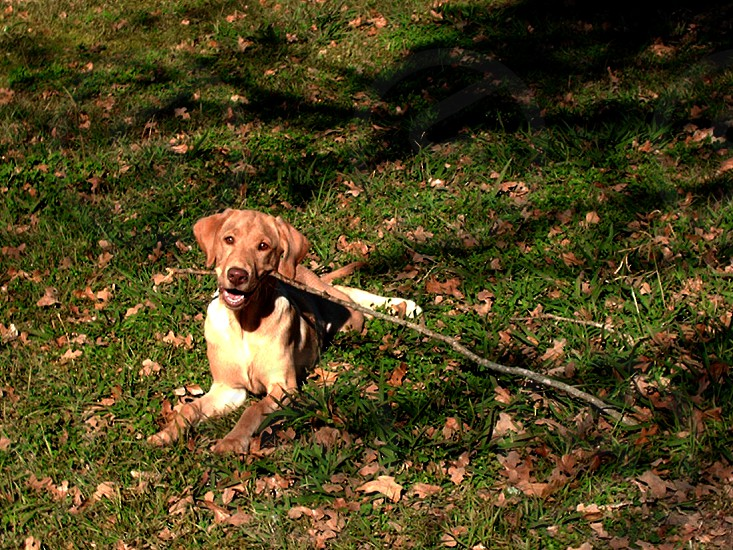 Happy Yellow Labrador laying in the grass with a big stick in her mouth. photo