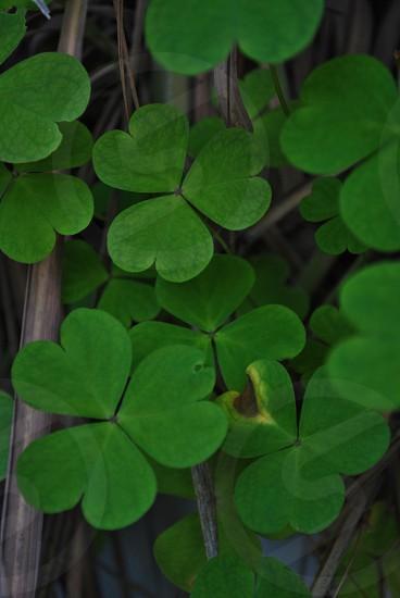 green clover  photo