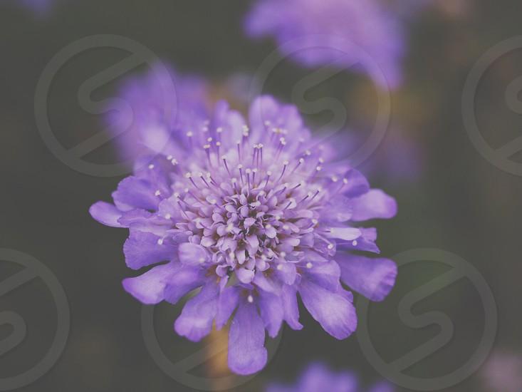 light purple flower with many petals  photo