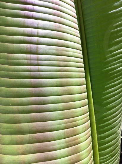 This is a photo showing the curve of a banana leaf taken at the Allerton Gardens in Poipu Kauai.  photo