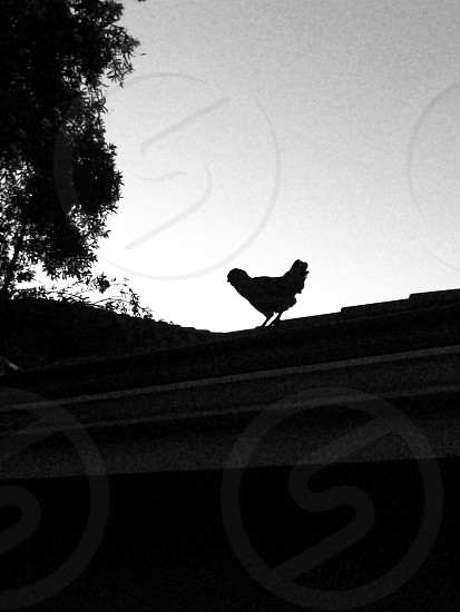 silhouette of chicken on roof photo