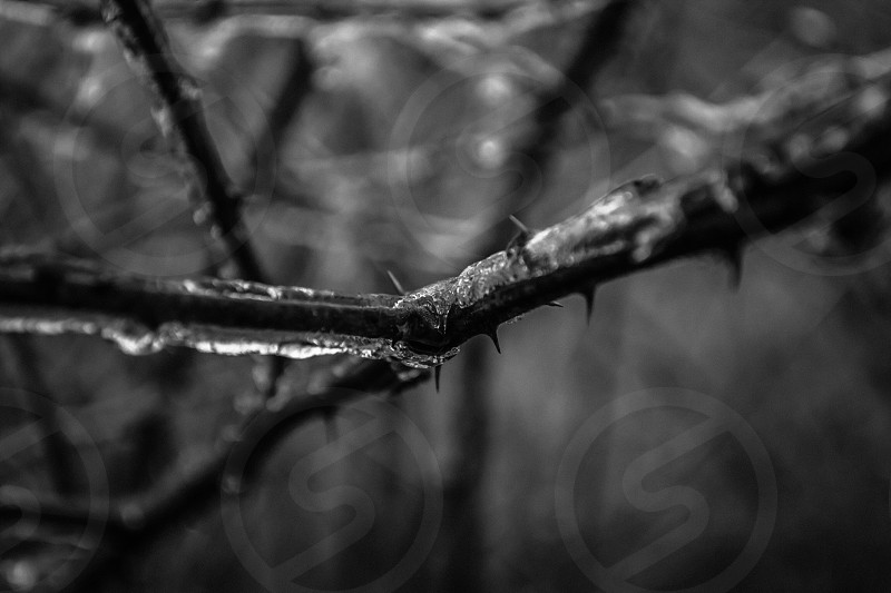 grayscale photograph of a branch with thorns and frozen water photo