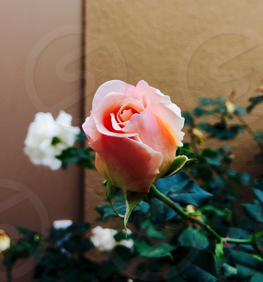 pink rose with green leaves photo