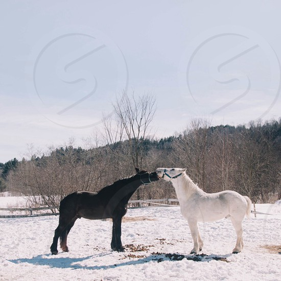 view of a black and a white horse photo