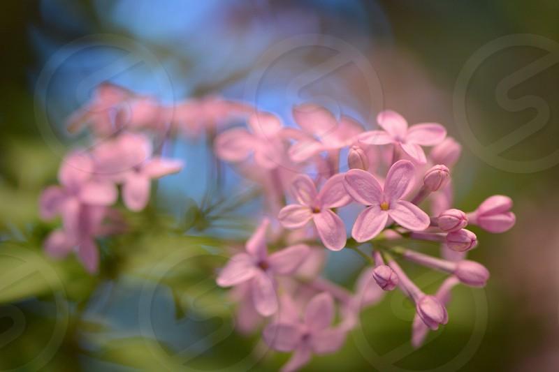purple small petaled flower photo