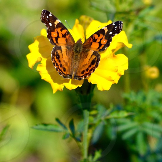 Monarch butterfly  resting on a vibrant yellow flower with a green background. photo