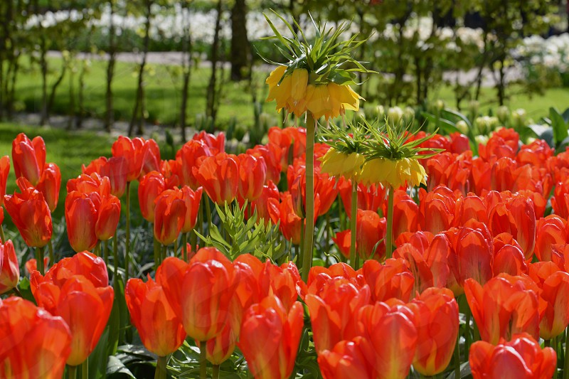 Flowers in a Amsterdam park in the springtime photo