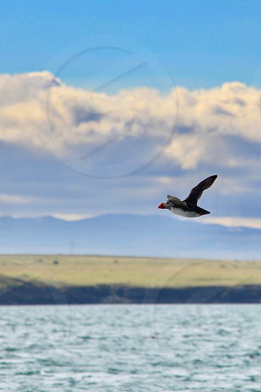 puffin in flight photo