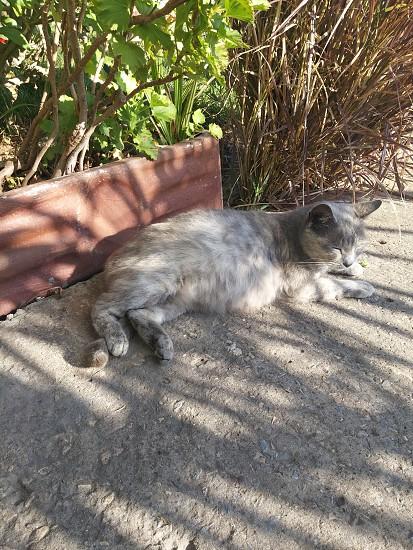 pregnant cat photo