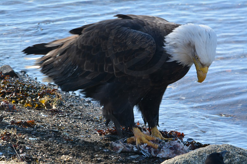 Bald Eagle Eating Salmon photo