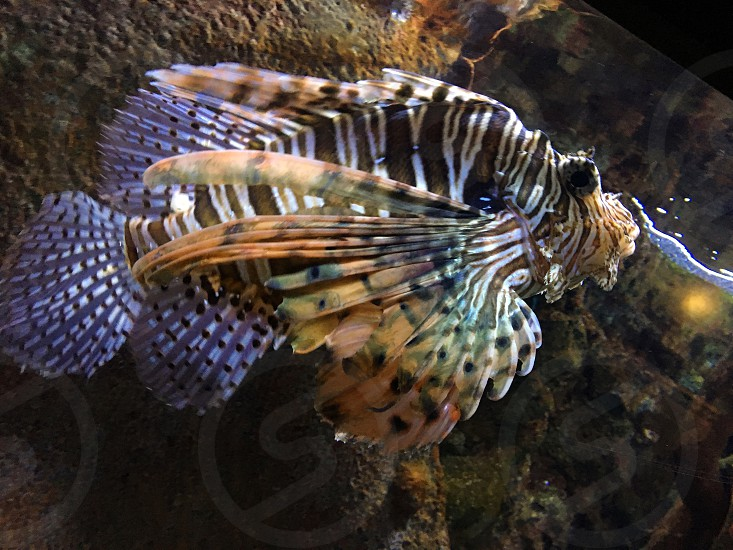 Lion Fish Poison Adventure Sea Ocean Aquarium Vacation Snorkeling Dangerous Fish photo