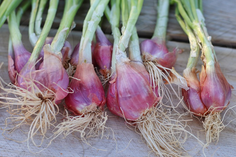 Shallots onion farm farm to table food  photo