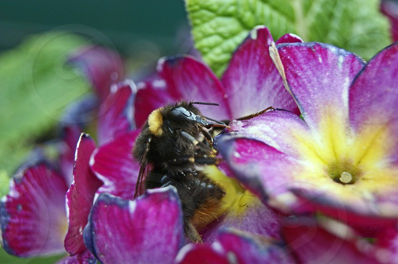 Close up of a bee pollinating a flower photo