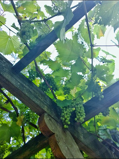 unripe bunches of grapes on wooden trusses photo