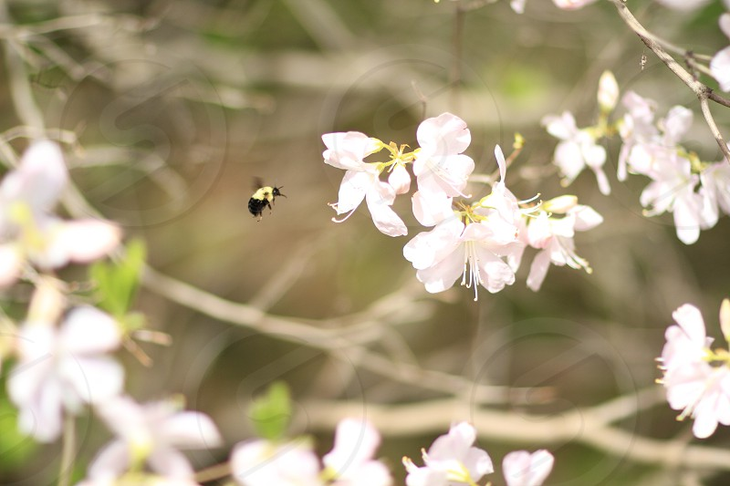 Bumblebee hovering over a flower photo