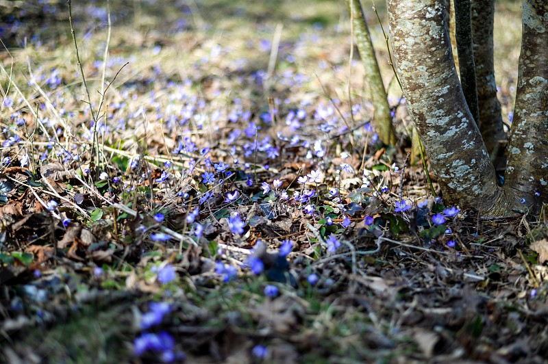 a bed of Anemone hepatica flowers photo