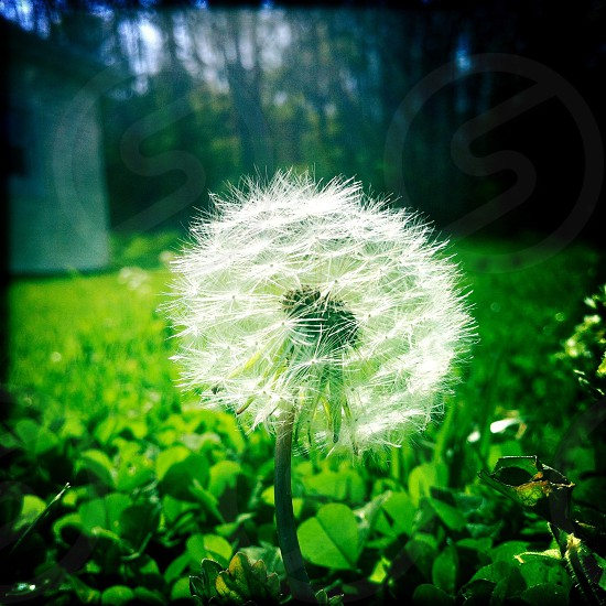 first dandilion of spring photo