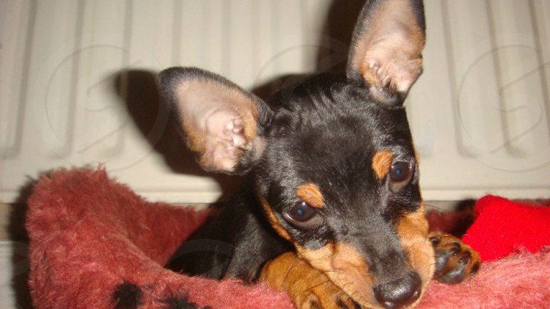 Its my cute black and tan miniature pincher dog photo