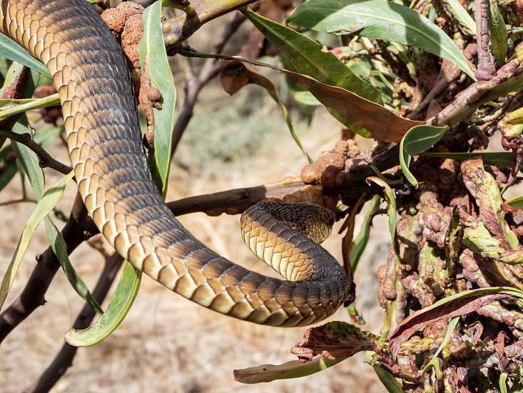Boomslang (Dispholidus typus) on a branch - a dangerously venomous reptile (snake). photo