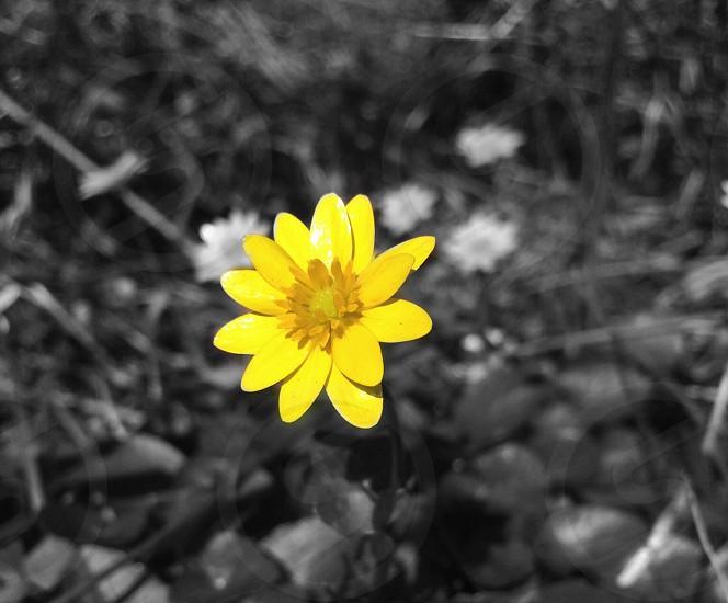 yellow outdoor flower photo