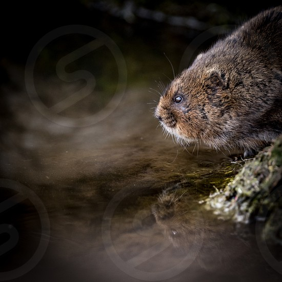 Close up of wild Water vole sitting on waters edge with reflection photo