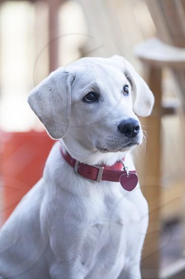 white short haired medium breed dog wearing red collar photo