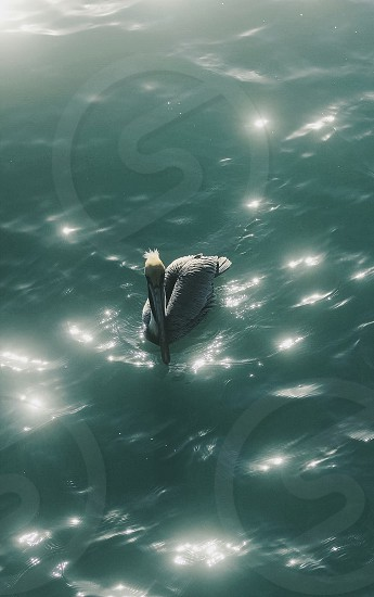 The Lonely pelican  photo